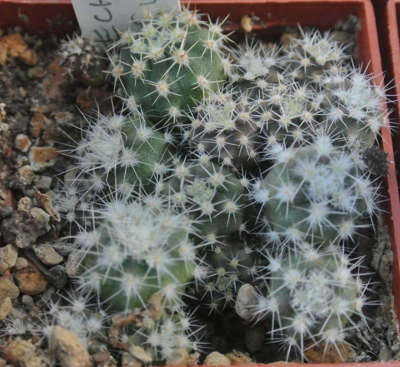 echinopsis-subdenudata.jpg