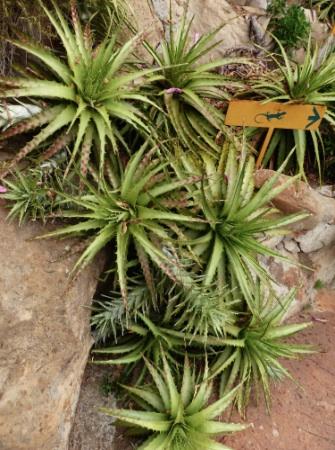 PallancaHechtiaglomerata.jpg