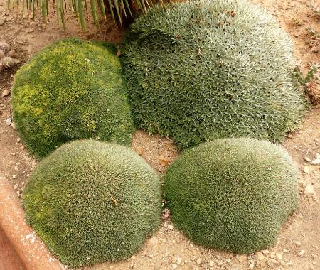 PallancaAbromeitiellachloranthaetbrevifolia.jpg
