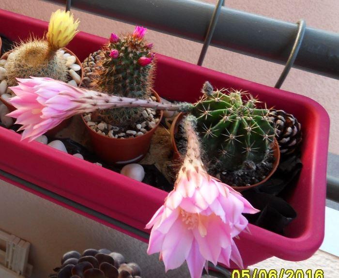 echinopsis20162.jpg