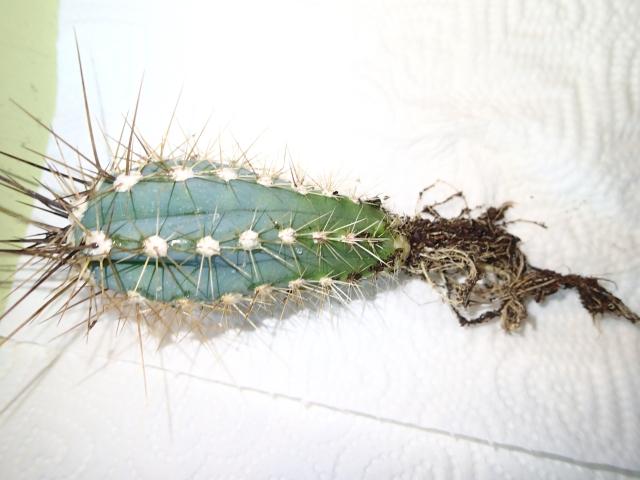 cactus_colonne5.jpg