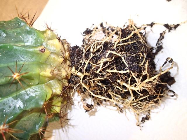 cactus_boule_melange7.jpg