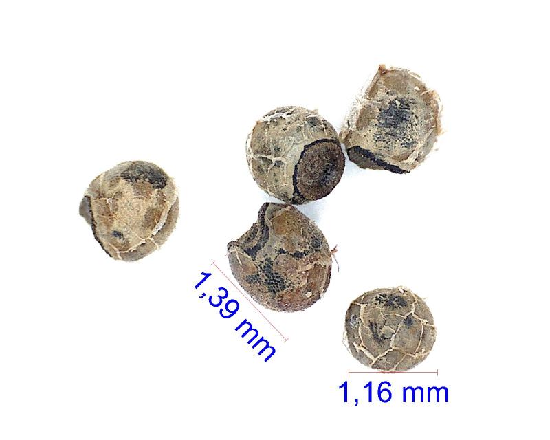 GymnocalyciumerinaceumpapschiiVS160PR.jpg