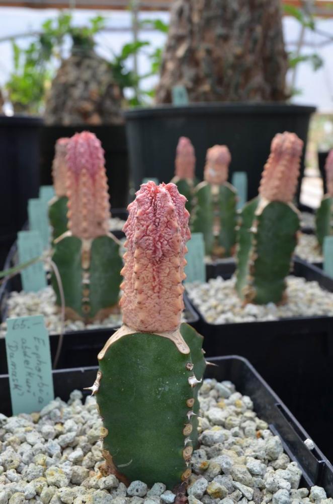 EuphorbiaabdelkuriDamaskcollJMDSC_1237.JPG