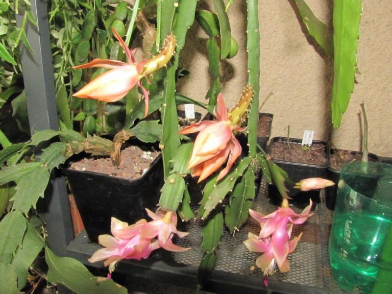 Epiphyllumsp1.jpg