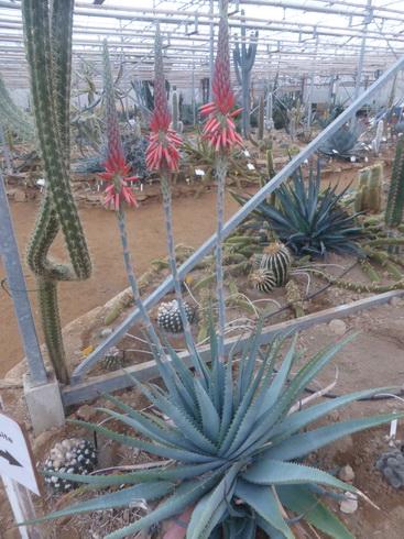 Aloesupeafoliata1.JPG
