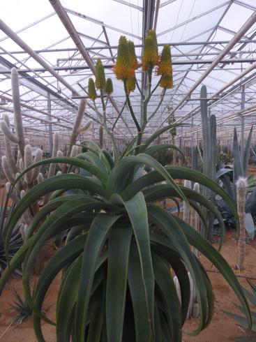 Aloethraskii2.JPG