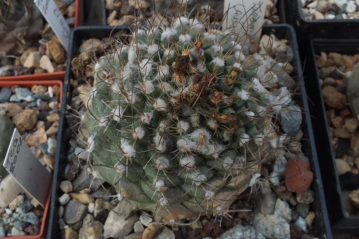 Turbinicarpuslaui.R.jpg