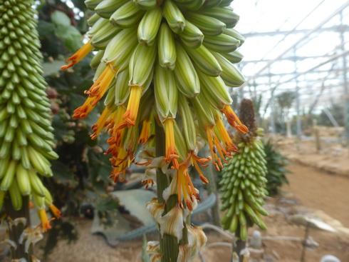 Aloeaculeata1.JPG