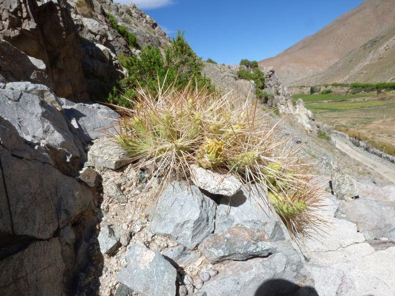 P1060840_RCPC_10_Maihueniopsis_grandiflora.JPG