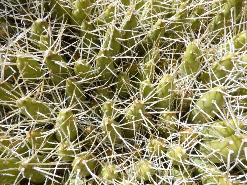 P1060849_RCPC_10_Maihueniopsis_grandiflora.JPG
