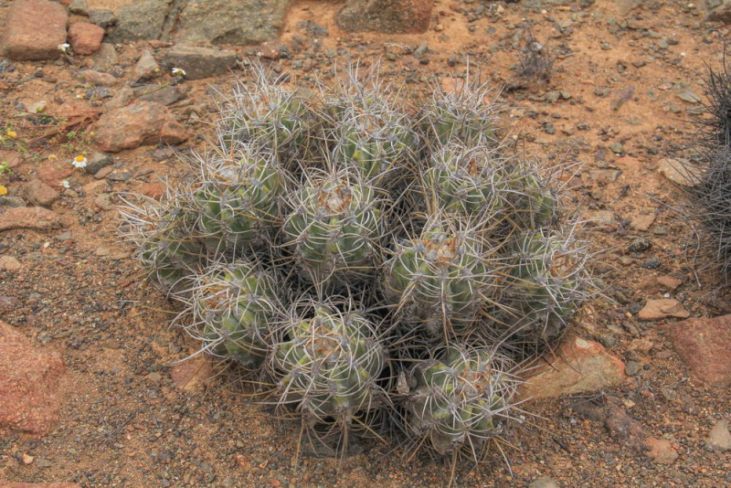 RCPC_066_Copiapoasolaris_5.jpg
