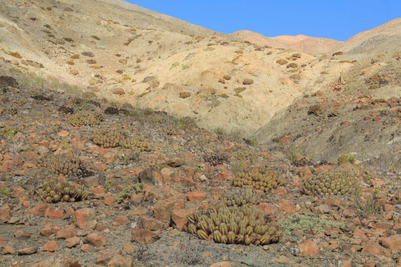 RCPC_069_Copiapoasolaris_3.jpg