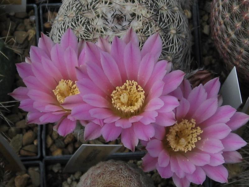Echinocereusadustus.JPG
