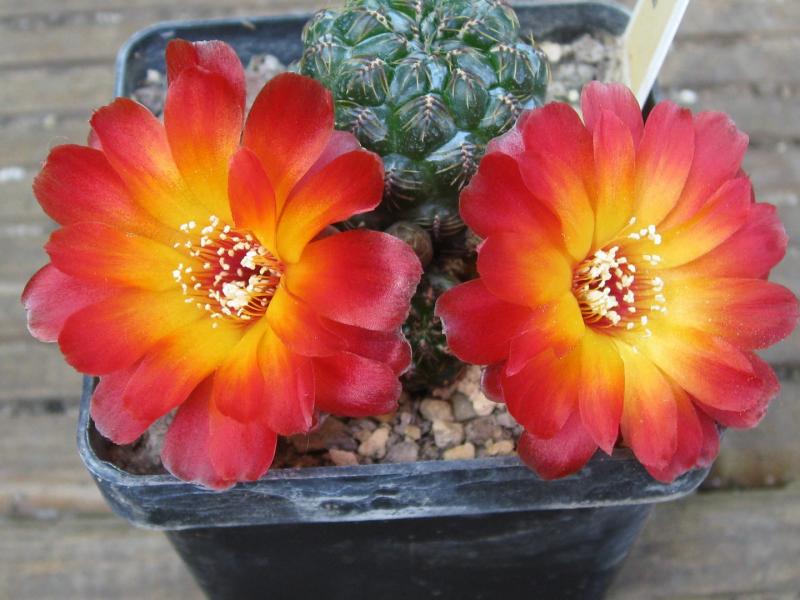 Sulcorebutiaverticillacanthaaureiflorar479.JPG