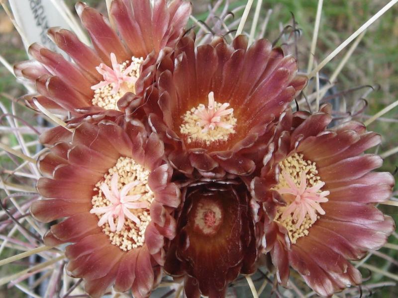 Glandulicactusuncinatussubspwrightii..JPG