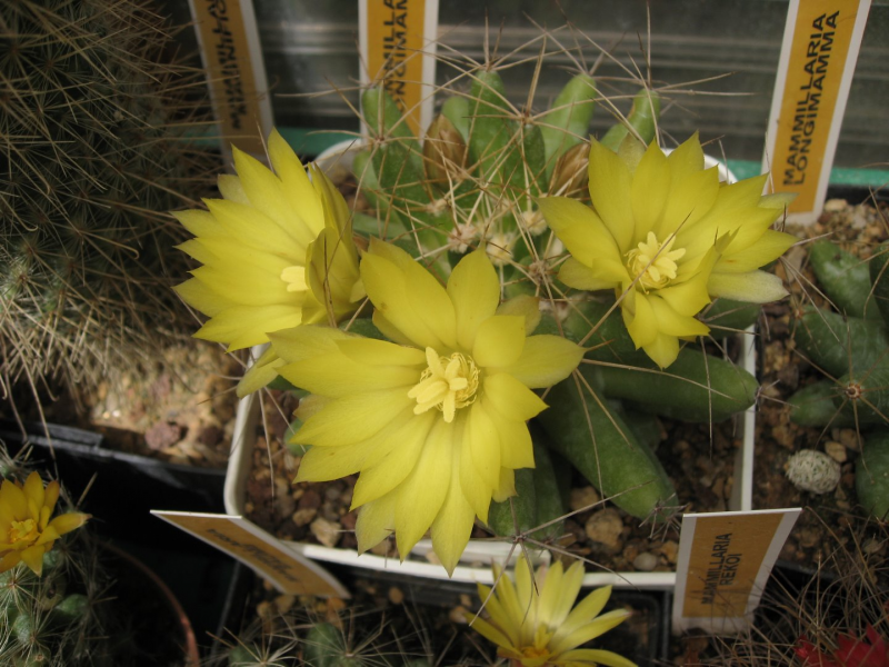 Mammillarialongimmama.JPG