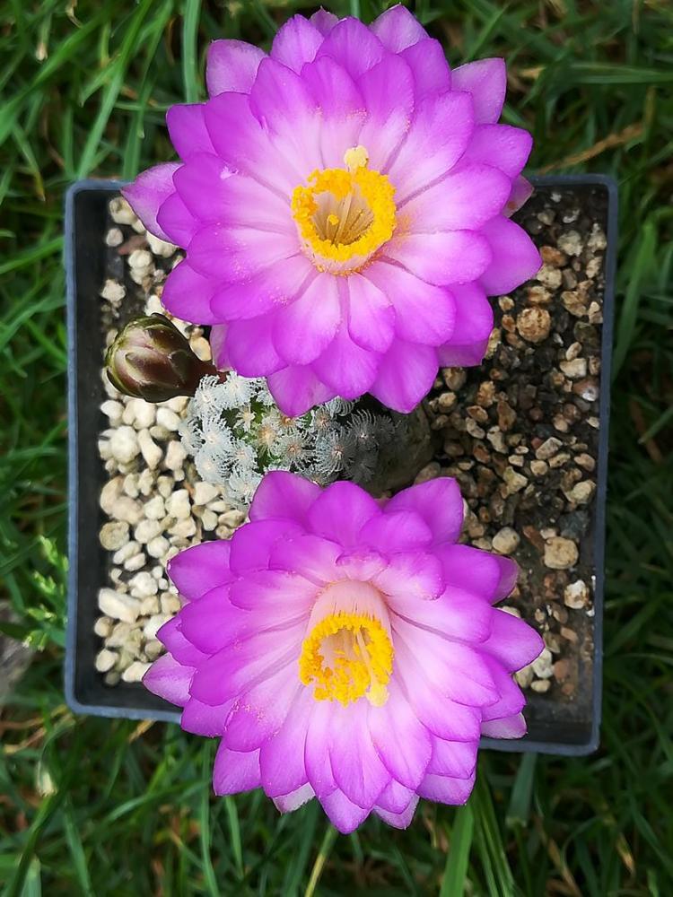 Mammillariatheresae.jpg