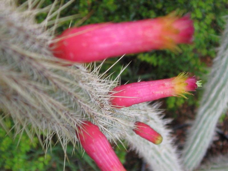 Cleistocactuscandelilla.JPG