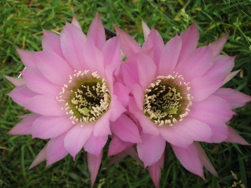 Echinopsishybillias.JPG