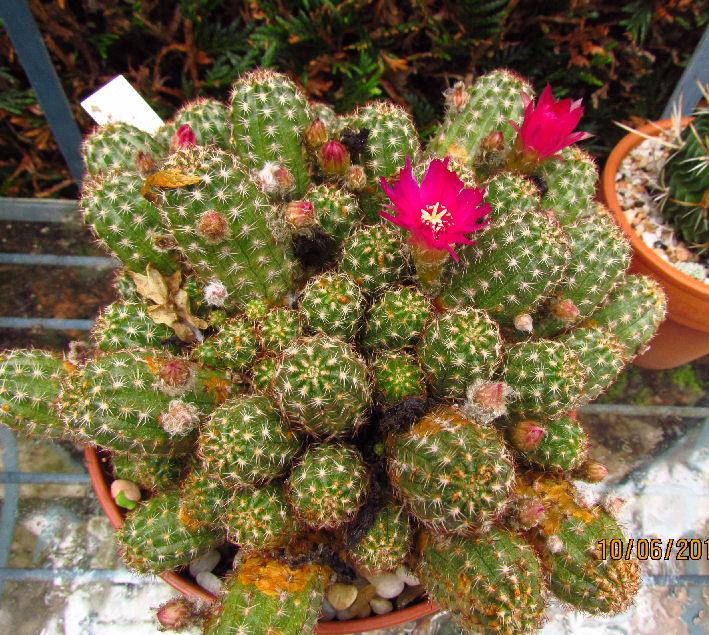 echinopsisChamaelobiviapmIMG_2095.jpg