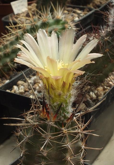 A.longicarpusSAR.R.jpg