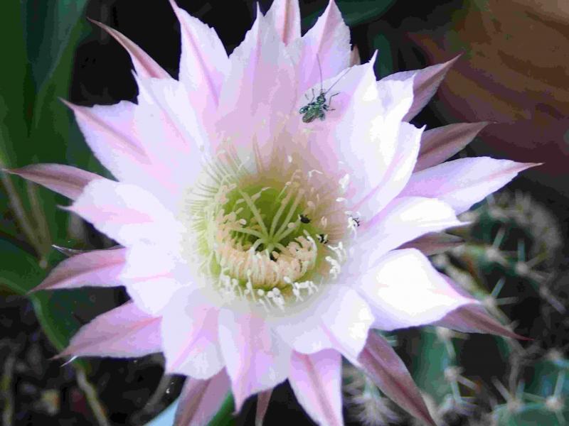 Echinopsis_pas_certainement_oxygona_5.jpg