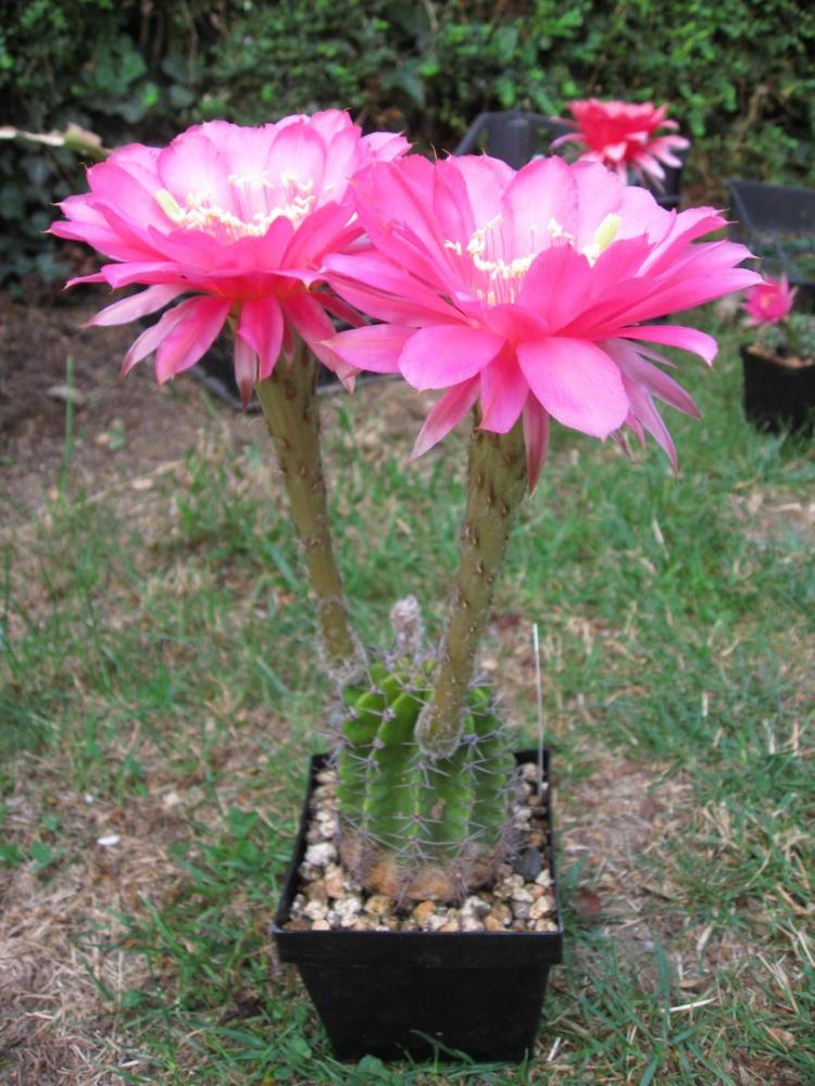 Echinopsishybpinkpanther..JPG