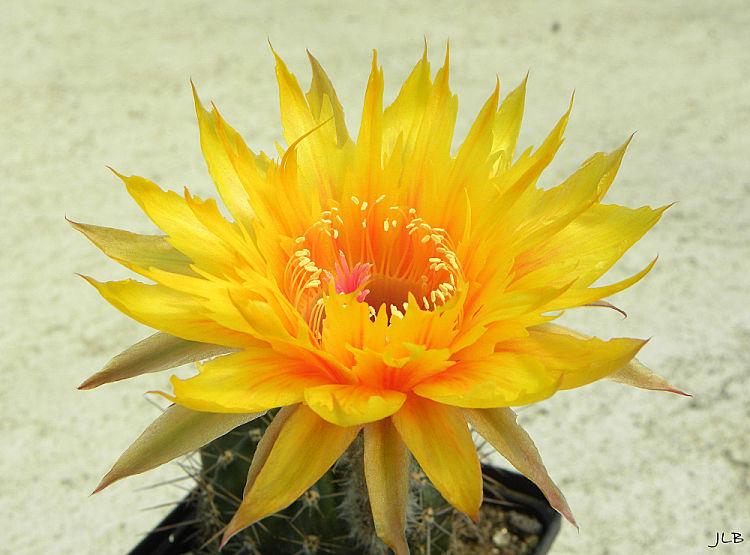 EchinopsisSternschnuppeGezackt2_opt.jpg
