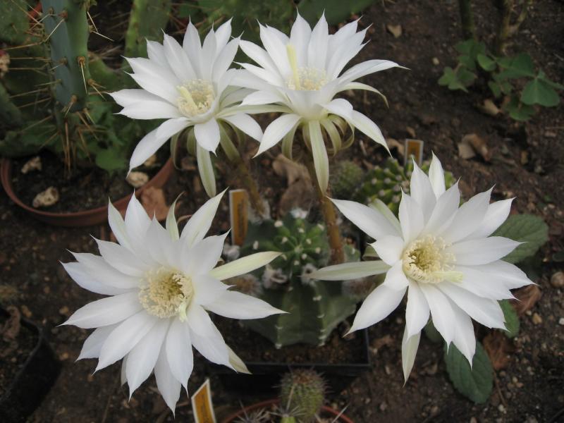 Echinopsissubdenudatus.JPG