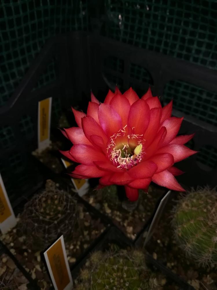 Echinopsishybkrakatoa.jpg