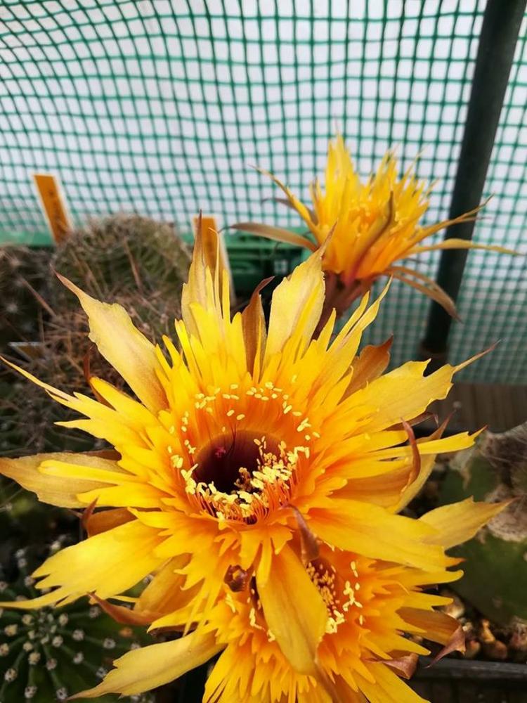 EchinopsishybSternschuppe.jpg