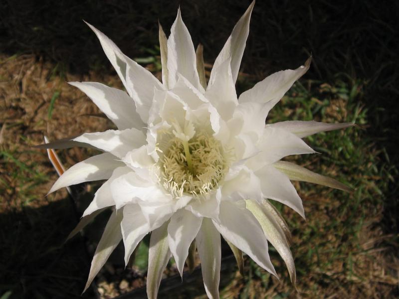 Echinopsiswinterset.JPG