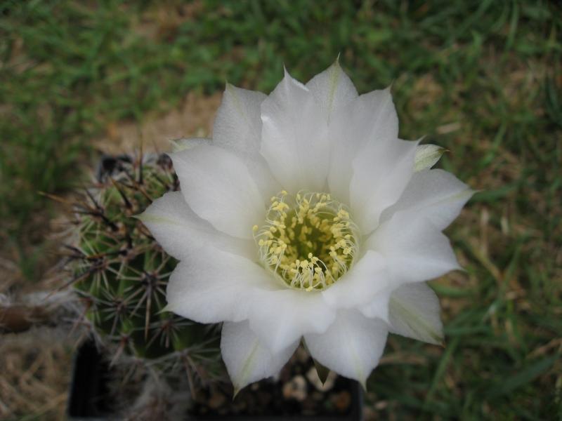 Lobiviaaureav.albiflora.JPG