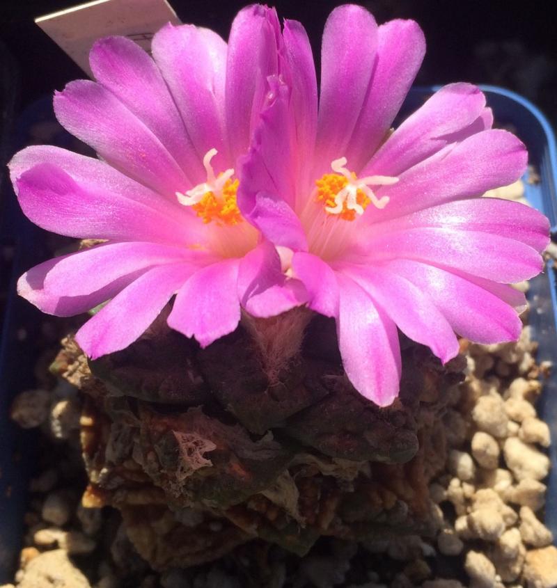 ariocarpusfissuratuslloydii.jpg
