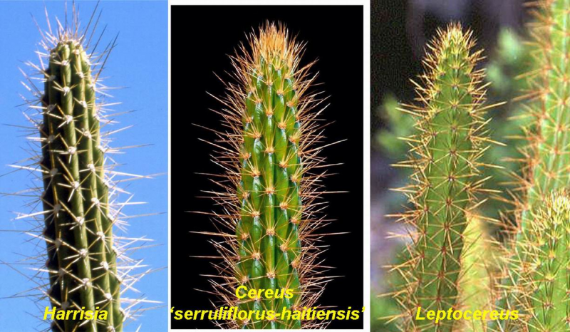 Cereusserruliflorusstemcomparison.jpg