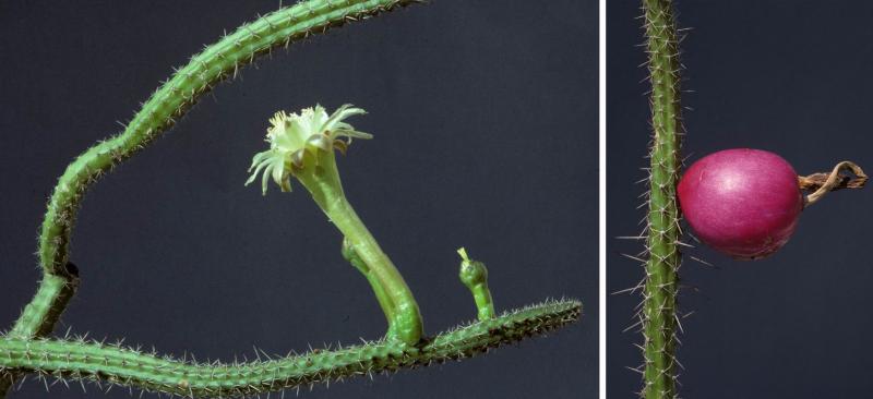 Praecereuseuchlorusamazonicusballivianiifl.Cardenas-1809-ZSS-92-2124-0-flowering_Eggli-00078.jpg