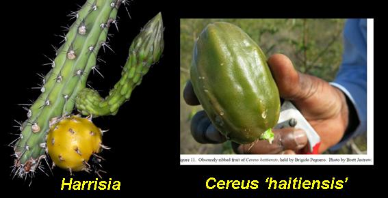 Harrisiasp-CereushaitiensiscomparisonDSC_3086.jpg