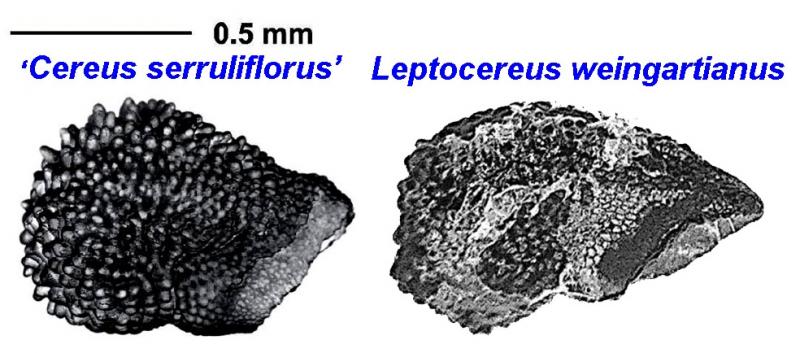 Cereusserruliflorus-Leptoweingartianuscomparingseed.jpg