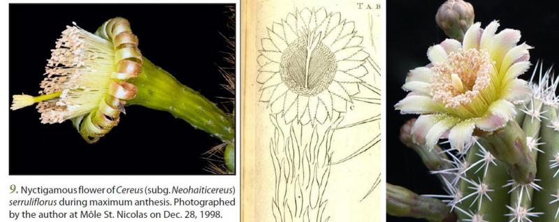 Cereusserrulifloruscomparisonfl.AAM.jpg
