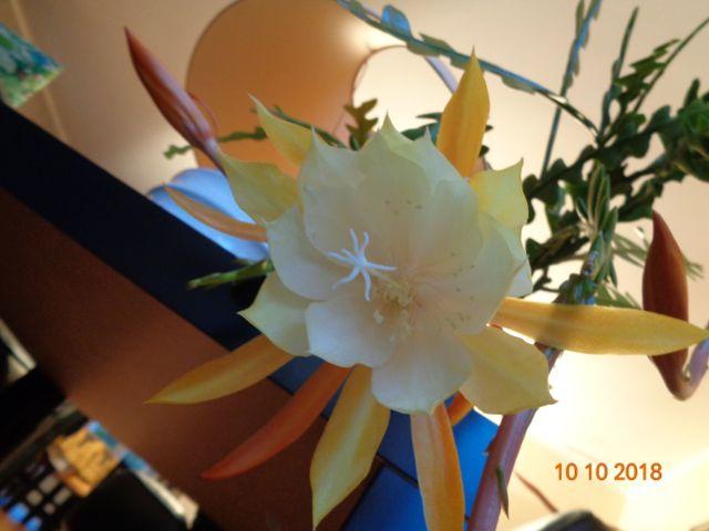 Epiphyllumanguliver4.jpg