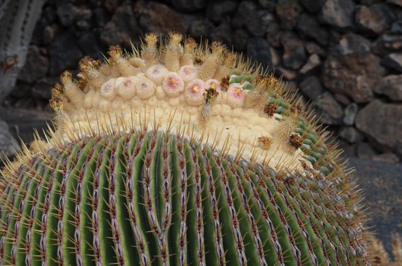 EchinocactusplatyacanthusJardinCactusLzDSC_1839.JPG
