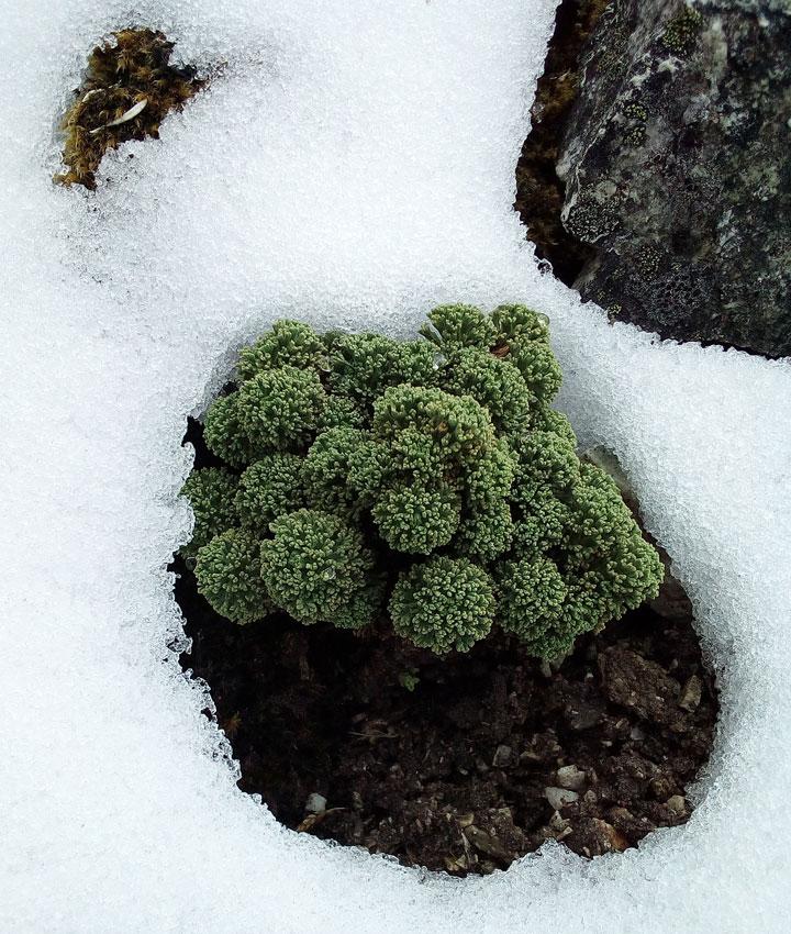 4500m-plante-2_neige.jpg