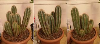 cactusbis.png
