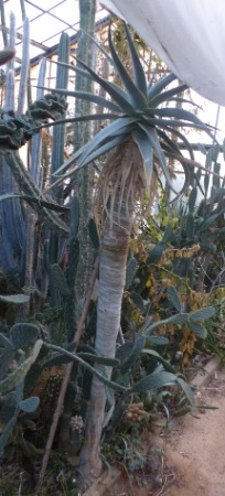 Aloepillansii.jpg