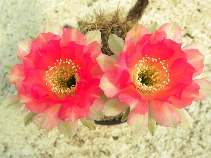 EchinopsisRosedOrient2_01.JPG