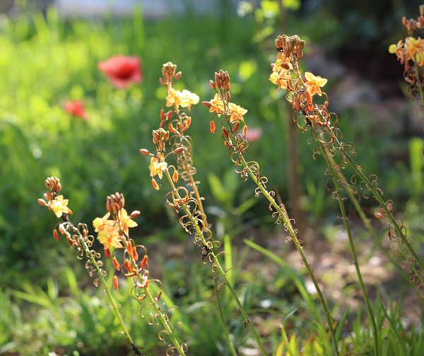 Bulbine_frutescens.jpg