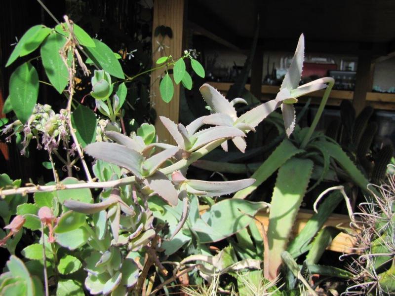 Aloebulbilliferavarpaulianae2013052.jpg