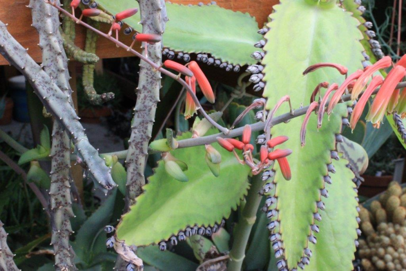 Aloebulbilliferavarpaulianae2016011.jpg