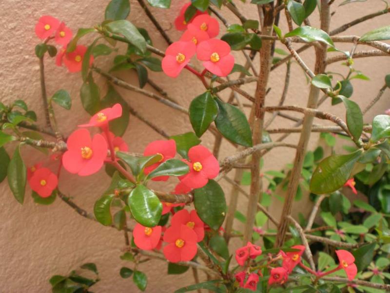 Euphorbiageroldii.JPG
